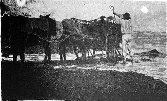 Cargando algas en la playa_Denia 1900